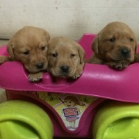 AKC British Labrador Puppies