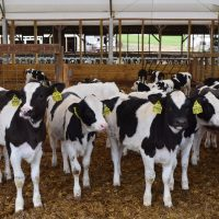 Brahman heifers , holstein , jersey and angus halves available